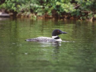 Fryeburg cottage photo - One of our resident loons.