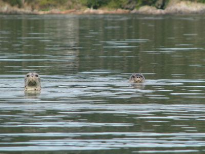 Harbor seals are frequent visitors to the waters adjacent to the property