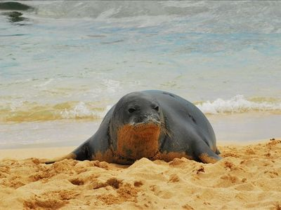 Monk Seal @ Poipu Beach
