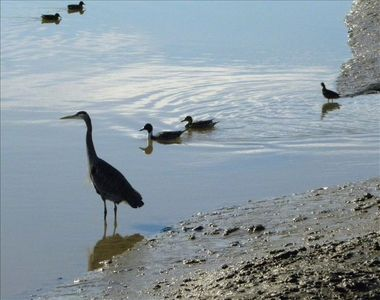Great Blue Heron and ducks - lots of birdlife