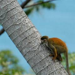 Titi Monkey - Manuel Antonio villa vacation rental photo