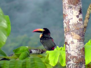 Drake Bay cottage photo - Firey billed aracari. Photo taken from cabina deck!