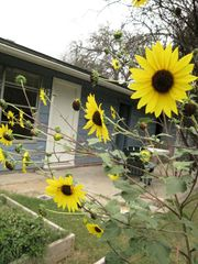 Austin house photo - Sunflowers greet you in the backyard garden