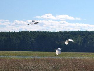 Scarborough and Pine Point house photo - Snowy Egrets are a common sight from the house