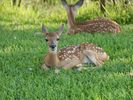 A little Doe just waking up from a nap by the gate house.