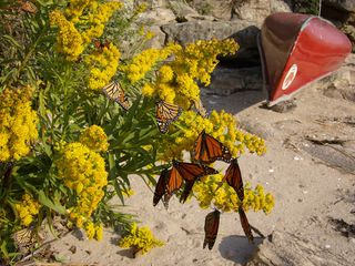 Branford bungalow photo - nature is a star attraction ,Monarch butterflies on our beach from Mexico!