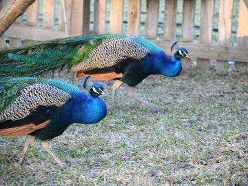 Peacocks will sometimes spar with each other to decide dominance on the property
