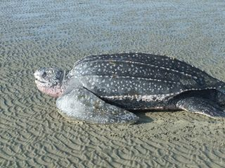 Harbor Island house photo - Rare leatherback turtle that came in to nest in front of our house!