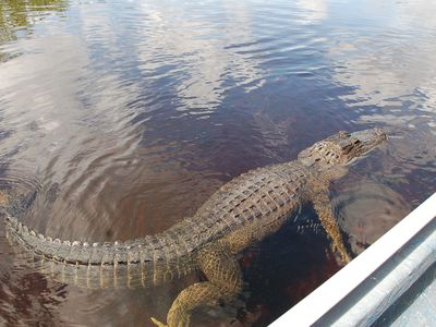 Just 30 minutes away....Airboat Rides in Everglade City with the Alligators