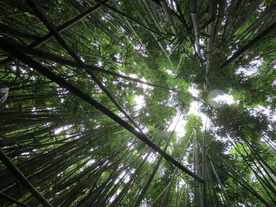 The bamboo forest hike is stunning