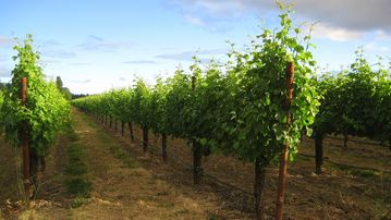20 acres of Sauvignon Blanc for Rodney Strong Winery nearby.