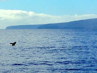Maalaea condo photo - Whales right outside your door, December through April.