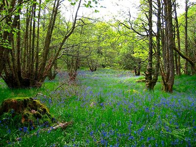 Aberfeldy, Loch Tay and Glen Lyon cottage rental - Bluebells in Craggantoul forest