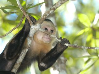 White Face Monkey - Manuel Antonio villa vacation rental photo