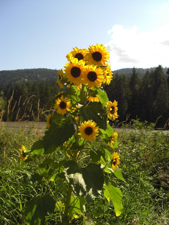 Sunflower with tidal inlet view and Mt. Erskine in the background