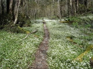 Early Spring Wildflowers, a trail in the park - Gatlinburg condo vacation rental photo