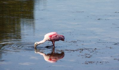 Roseate Spoonbill-Ding Darling Wildlife Sanctuary