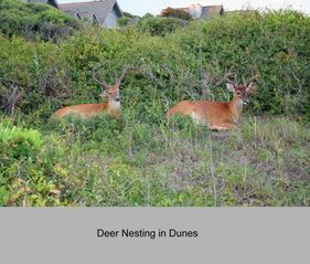 Kiawah Island villa photo - Deer enjoy nesting in the dunes.