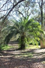 Amelia Island house photo - Beautiful Canary Island Date Palm on property
