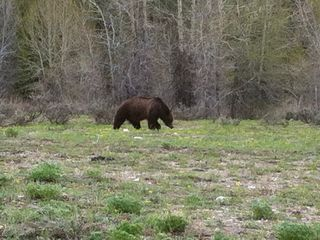 Wilson condo photo - Bear, about 4 miles from the condo on the Grand Teton and Yellowston road.