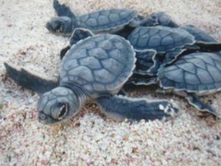 Aruba villa photo - Baby turtles hatching & making their way to the ocean! Amazing experience Wow!!