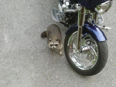 Rocky the racoon may come pay a visit :)