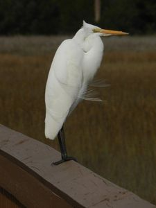 White Egret on the boardwalk