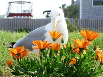 'Herbie the Seagull,' our friendly beachcomber, taking a break from clamming!