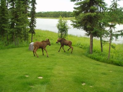 Twin moose calves playing around
