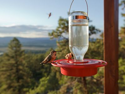 Rufous Hummingbirds