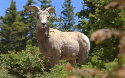 Surrounding Area - Long horned sheep spotted - Goose Greek - 12 miles away