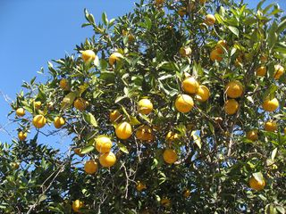 Orange Tree villa photo - Orange Groves
