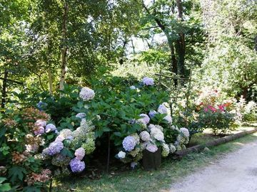 Our hydrangeas