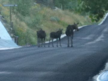 Momma Moose and babies, outside the door.