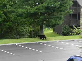 Gatlinburg condo photo - Yes, we saw a bear in the parking lot! We love wildlife.