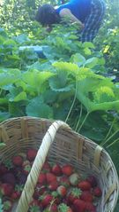 Rexford house photo - Pick fresh strawberries or raspberries for breakfast....