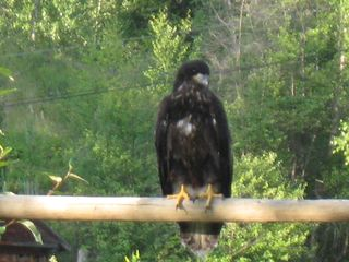 Cariboo cottage photo - Baby Bald Eagle visited for the summer