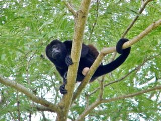 Playa Ocotal condo photo - Howler Monkey