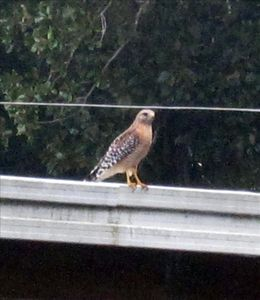 Hawk taking a breather, across the canal from the Cottage.
