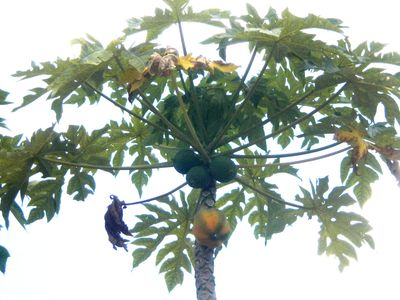 Papayas on our tree March 2012