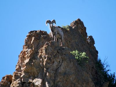 Male Big Horn Sheep on the cliff adjacent to cabin