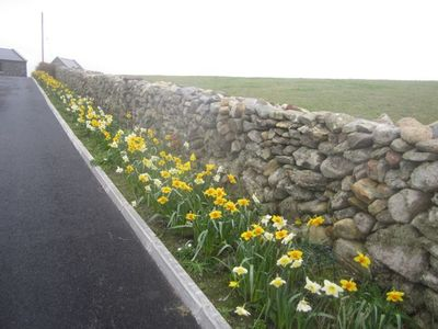 Daffodils along drive into OmeyHouse