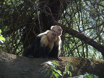Beautiful white face monkeys on the river boat tour.