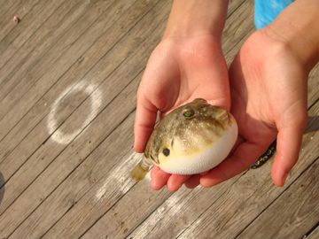 Walk to the bay & catch a blowfish!