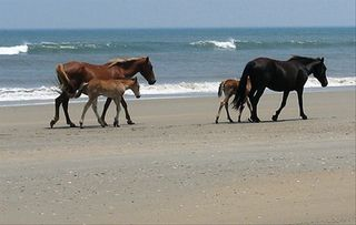 Carova house photo - Carova Beach Mustangs