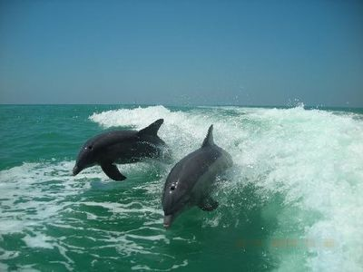 Enoy a nature's dolphin show in the waters of Sanibel.