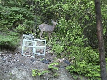 A guest took this photo of a deer grazing outside our kitchen.