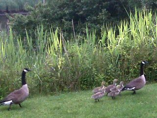 Westhampton house photo - Goose family in preserve