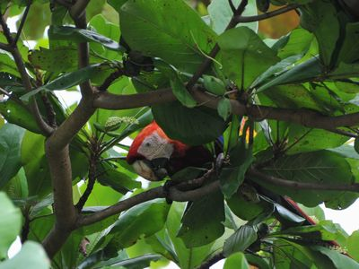 scarlet macaw in the garden