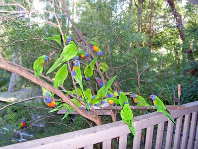 Rainbow Lorikeets (See you tube video on this site)